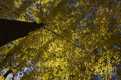 Photograph - Fall Maple by Steven Ralser