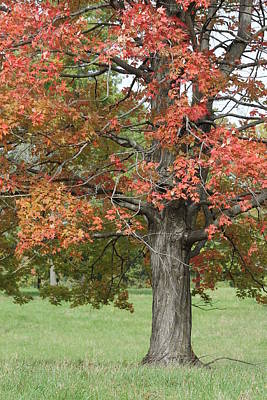 Andrea Grist Wall Art - Photograph - Fall Maple Tree by Andrea K Grist