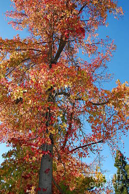 Photograph - Fall Maple Tree by Debra Thompson