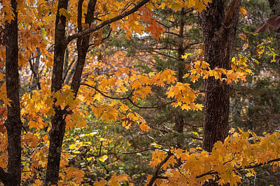 Art Print featuring the photograph Fall Maples - 01 by Wayne Meyer