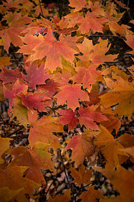 Art Print featuring the photograph Fall Maples - 03 by Wayne Meyer