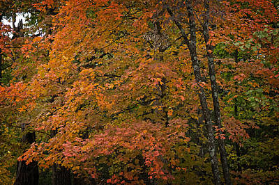 Art Print featuring the photograph Fall Maples - 05 by Wayne Meyer