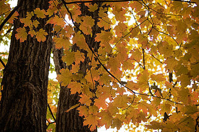 Art Print featuring the photograph Fall Maples - 06 by Wayne Meyer