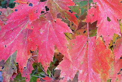 Photograph - Fall Maples Leaves 1 by Duane McCullough