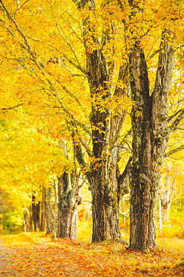 Photograph - Fall Maples by Robert Clifford