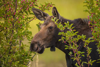 Photograph - Fall Moose by Kevin  Dietrich