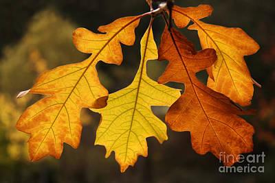 Photograph - Fall Oak by Inge Riis McDonald
