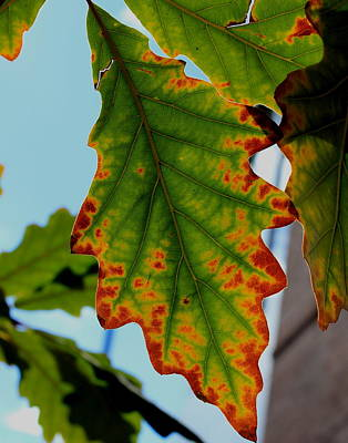 Photograph - Fall Oak Leaf by Trent Mallett