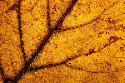 Essence Of Life Photograph - Fall Poplar Leaf by Cristina-Velina Ion