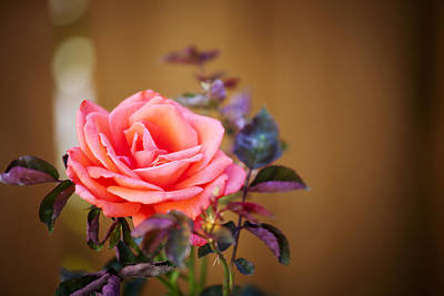 Photograph - Fall Rose by Crystal Cox