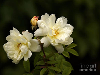 Photograph - Fall Roses by Inge Riis McDonald