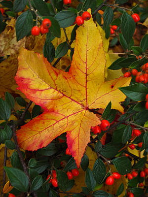 Photograph - Fall Splendor by Cheryl Perin