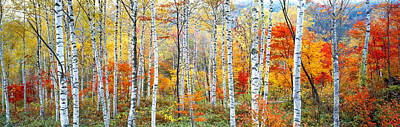Birch Trees Photograph - Fall Trees, Shinhodaka, Gifu, Japan by Panoramic Images