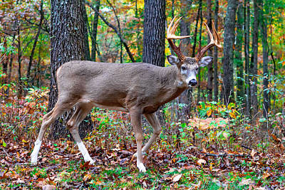 Photograph - Fall Trophy Buck by Mary Almond
