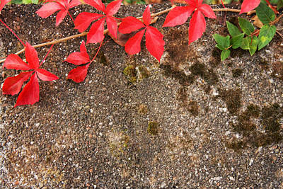 Photograph - Fall Virginia Creeper by Melinda Fawver