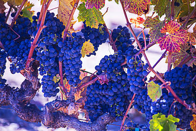 Fall Wine Grapes Art Print by Garry Gay