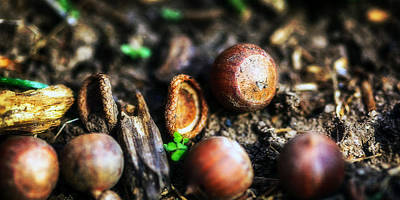 Photograph - Fallen Acorns by Sennie Pierson