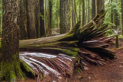 Photograph - Fallen Ancient Cedar by Albert Seger
