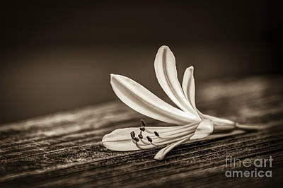 Flower Blooms Photograph - Fallen Beauty- Sepia by Marvin Spates