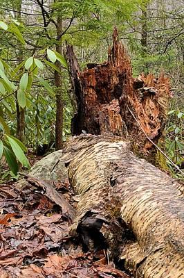Photograph - Fallen Birch At Weikert Run - Bald Eagle State Forest by Joel E Blyler