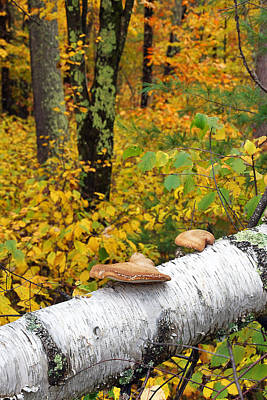 Photograph - Fallen Birch by Leda Robertson
