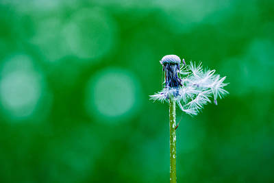 Colorful Dandelions Photograph - Fallen Off Dandelion - Featured 3 by Alexander Senin