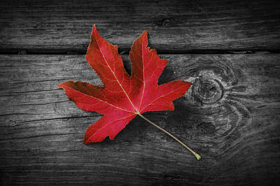 Photograph - Fallen Red Maple Leaf by Randall Nyhof