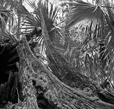 Fallen Tree. Highlands Hammock S.p. Art Print