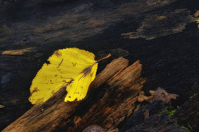 Photograph - Fallen Yellow Leaf by Steve Hurt
