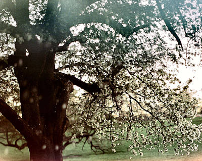 Photograph - Falling Blossoms by Stephanie Hollingsworth