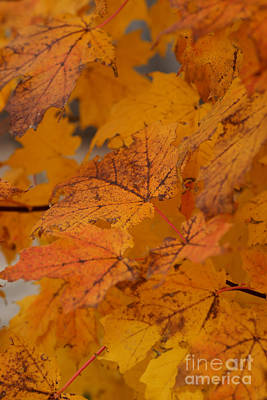 Photograph - Falling Leaves by Linda Shafer