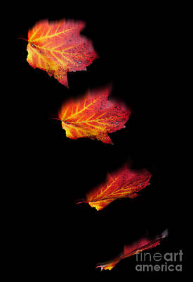 Photograph - Falling Leaves by Scott Camazine