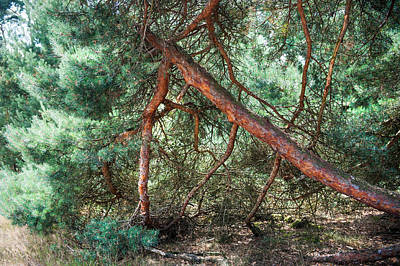 Falling Pine Tree In Veluwe National Park. Netherlands. Art Print by Jenny Rainbow