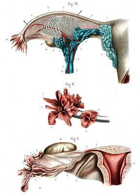 Fallopian Tube Anatomy Art Print