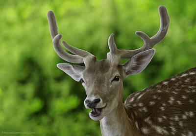 Photograph - Fallow Deer Aka Dama Dama by LeeAnn McLaneGoetz McLaneGoetzStudioLLCcom
