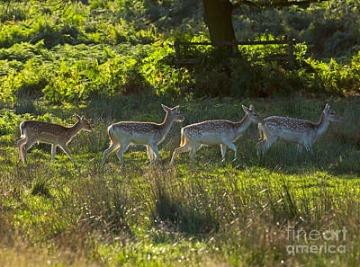 Animal Photograph - Fallow Deer At Dawn by Louise Heusinkveld