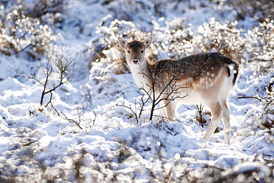 Fallow Deer In Winter Wonderland Print by Roeselien Raimond