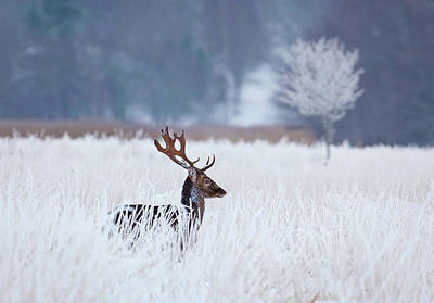 Frost Photograph - Fallow Deer In The Frozen Winter Landscape by Allan Wallberg