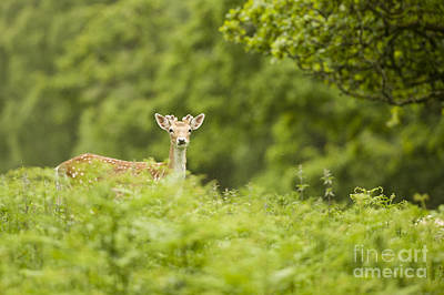 D700 Photograph - Fallow Deer by Kirk Norbury