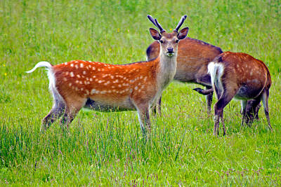 Photograph - Fallow Deer by Tony Murtagh