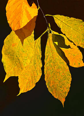 Photograph - Fall's Purest Gold by Sandi OReilly