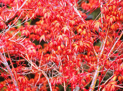 Photograph - Fall's Red Acer Cu by Robert  Rodvik