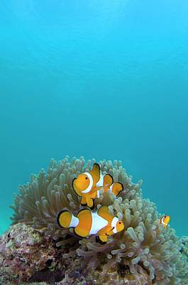 Pomacentridae Photograph - False Clown Anemonefish by Scubazoo
