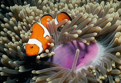 Clown Fish Photograph - False Clownfish by Jeff Rotman