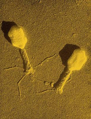 Bacteriophage Wall Art - Photograph - False-col Tem Of T4 Bacteriophage Infecting E.coli by M. Wurtz/biozentrum, University Of Basel/ Science Photo Library.