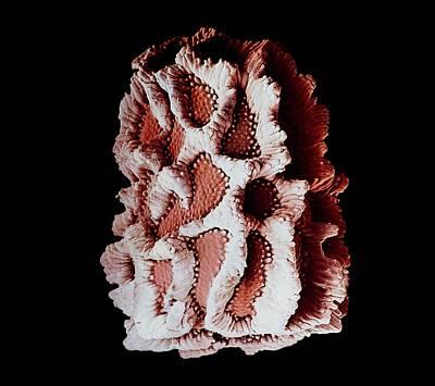 Antirrhinum Wall Art - Photograph - False-colour Sem Of An Antirrhinum Seed by Dr Jeremy Burgess/science Photo Library