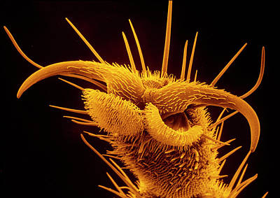 Housefly Wall Art - Photograph - False Colour Sem Of The Foot Of A Housefly by Dr Jeremy Burgess/science Photo Library.