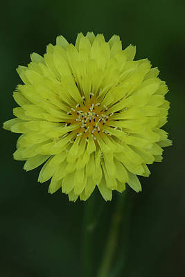 Photograph - False Dandelion Flower by Daniel Reed