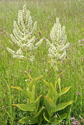 Romanian Photograph - False Helleborine (veratrum Album) by Bob Gibbons