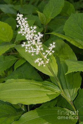Photograph - False Solomon's Seal by Chris Scroggins